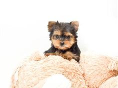 MicroTeacup Twinkle is our YORKIE PUPPY