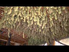 アウトドア 医療大麻の育て方 その7 乾燥編 @カリフォルニア メンダシノ - https://www.youtube.com/watch?v=t3hyL_OZBNQ