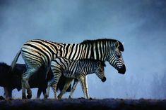 © Michael Viljoen Natural World, Park, Nature, Animals, Naturaleza, Animaux, Animales, Parks, Nature Illustration