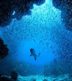 A George Town, capitale des îles Caïmans, le mois de juin est très attendu par les plongeurs… et quelques prédateurs marins