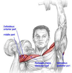 Muscles used in Dumbbell-Press