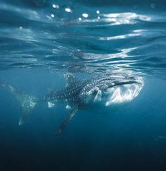 "OLLY | TRAVEL PHOTOGRAPHY on Instagram: ""Earth is WILD   🐋 🦈  •  •  •  •  •  #underwaterphotographer #underwaterphoto #underwaterworld #uwphoto #scubadiver #paditv #uw…"" Underwater Photographer, Underwater Photos, Australia Travel, Whale, Travel Photography, Journey, Earth, Animals, Instagram"