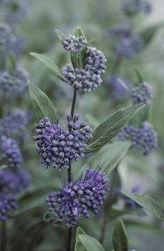 Blue Mist Shrub (Caryopteris 'Dark Knight')  - attracts  butterflies, slight fragrance