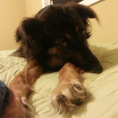 I think this is what our new puppy will look like! Boarder collie - shepherd rescue #whorescuedwho