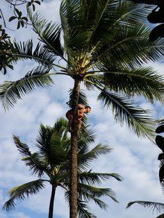 Samoan Coconut Tree Climber. Ponapati Seupule.