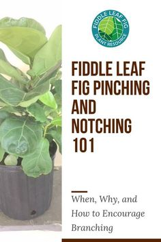 If you own a celebrated Fiddle Leaf Fig Tree, you've probably thought about what you can do to get it to grow new branches. Fiddle leaf fig notching is a fairly advanced strategy. Today, we'll break down what you need to know to get new growth right where Fig Leaf Tree, Fig Leaves, Ficus, Fiddle Leaf Fig Tree, Tree Care, Foliage Plants, Garden Care, Garden Plants, Indoor Plants