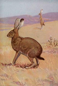 Animal Hare Jack Rabbit Wildlife 1936 Antique Print | eBay