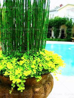 50pcs/bag Seeds Fresh mini Moso Bamboo Seeds Plant professional pack Bambusa Lako tree seeds for home garden