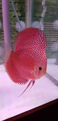 Spotted leopard Discus fish - New Bildhaft Pins Diskus Aquarium, Tropical Fish Aquarium, Tropical Fish Tanks, Fish Aquariums, Fish Ocean, Tropical Freshwater Fish, Freshwater Aquarium Fish, Discus Fish, Betta Fish