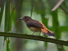 6609. Rufous-tailed Shama (Copsychus pyrropygus) | Brunei, Indonesia, Malaysia, Thailand