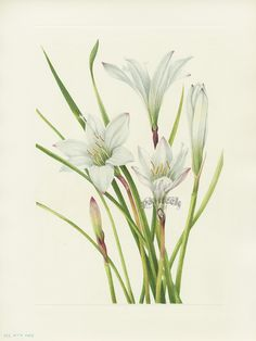 Atamasco-lily. Mary Vaux Walcott North American Wildflower Prints 1925