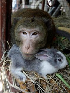 macaco e coelho