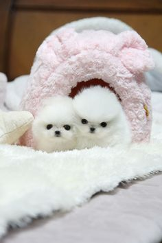 White Pomeranians looking to snuggle