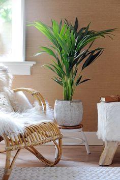 """De Kentia of Howea Een imposante, groene palm met tropische roots. Je ziet deze mooie groene palm vaak in Hollywoodfilms. In de VS staat de Kentia daarom beter bekend als de """"Hollywood Palm"""". Wat deze kamerplant nog meer bijzonder maakt? De Kentia geeft regelmatig een nieuw blad."""