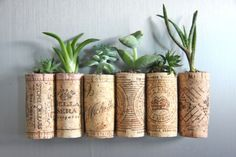 Sukkulenten in Korkstöpsel pflanzen und großziehen