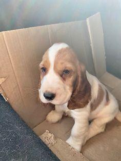 Spaniel Dog, Psy, Crazy Dog Lady, English Cocker, I Love Dogs, Corgi, Puppies, Nice, Animaux