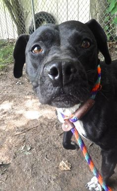 Nina: Pit Bull Terrier Mix • Adult • Female • Medium Animal Protection League Anderson, IN
