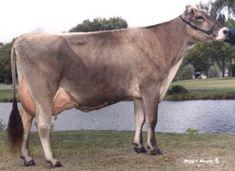 raw milk - brown swiss dairy cow