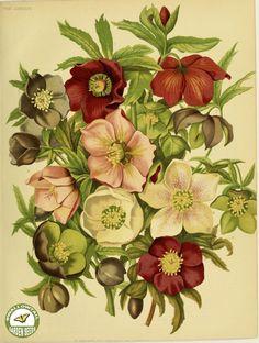 Helleborus spp. (1879) - vintage flowers