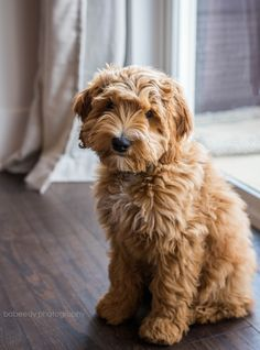 Four month old cockapoo puppy apricot