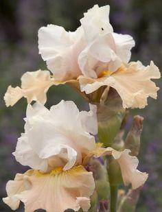 Iris Champagne Elegance growing information, Bearded iris Champagne Elegance growing information, Iris Germanica Champagne Elegance, Reblooming irises, Bicolor irises, Award Irises