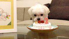 - - Follow @maltese.dog.love for more via @okayusan20150421 Love to tag? Please do! - #maltese #malteseofinstagram #maltesers #malteseofficial #maltese101 #malteselovers #maltesepuppy #maltesedog #maltesemix #maltesenation #maltesegram #malteseworld #malteseoftheday #malteseworld_feature #malteseterrier #maltesedogs #malteselife #malteseofig #malteses #maltesesofinstagram #maltesecross #malteseshitzu #malteseclub #maltese_thecute #maltesestagram #maltese_feature #malteseislands #maltese_101…