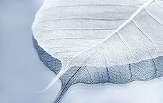WHITER SHADE OF PALE by Maggie Terlecki A very simple, zen feeling of very soft blue with a translucent white leave. Very serene and gentle image that would look great in your home, on your wall as decor.  #whitershadeofpale #fineartphotography #stilllifephotography #stilllife #blue #babyblue #maggieterlecki #leaf CLICK ON IMAGE FOR MORE INFORMATION ON THIS PHOTOGRAPH