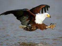 Bald Eagle | Beauty Of The World