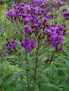 New York Ironweed (vernonia noveboracensis) very easy and not picky about conditions.  Sunny spot is best.  Native. Seed. August and September blooming.