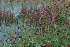 Knautia macedonica.  Lythrum salicaria `Lady Sackville` Lythrum salicaria