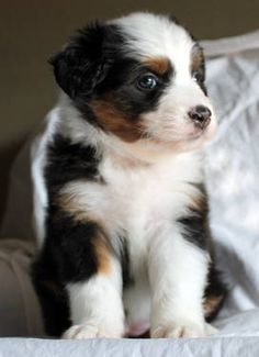 I want me a mini aussie puppy! They are a lot of work but the love they give back is so worth it!