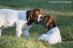 Cute baby boer goats. More baby goat photos at Lipstick for goats blog spot.