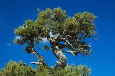 A mountain mahogany tree.