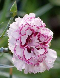 Designs For Garden Flower Beds Dianthus Rare Flowers, Exotic Flowers, Amazing Flowers, Pink Flowers, Fresh Flowers, Beautiful Flowers, Edible Flowers, My Flower, Flower Pots