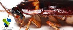 شركة مكافحة الصراصير بالرياض دليل ارقام افضل شركات رش صراصيرالمطبخ الخشب الالماني شمال شرق الرياض القضاء على العناكب النمل الابيض الفئران في المنزل نهائيا.