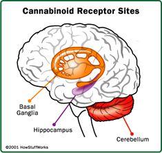 "HowStuffWorks ""Making a Case for Legal Medical Marijuana"""