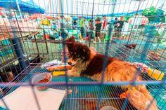 Cães e gatos não são comidas. China os retira oficialmente da lista de animais comestíveis às vésperas do Festival de Yulin - GreenMe.com.br Alpacas, Especie Animal, China, Nature, List Of Animals, Animals And Pets, Symptoms Of Hiv, Search And Rescue, Pigs