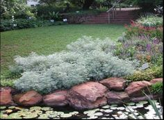 Artemisia 'Powis Castle'  Botanical Name:Artemisia x. 'Powis Castle'  Perennial  Hardiness Zone:4  AHS Heat Zone:12 to 8  Light Requirements:Full Sun; Partial Shade  Water Usage:Low  Soil Type:Well-Drained  Height:2 to 3 ft.  Spread:2 to 3 ft.  Bloom Color:Silver-Gray Foliage  Evergreen