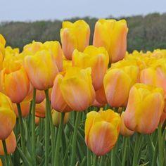 'Ardeche' ist eine spät blühende Tulpe, die von der Gruppe der Französischen Tulpen abstammt. Pfanzzeit ist im Herbst - online bestellbar bei www.fluwel.de