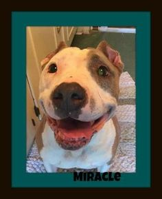 Miracle is an adoptable Pit Bull Terrier searching for a forever family near Memphis, TN. Use Petfinder to find adoptable pets in your area. #pitbull