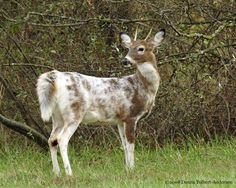 A genetic variation produces the piebald condition in white-tailed deer, not parasites or diseases. Piebald deer are colored white and brown, similar to a pinto pony. Sometimes they appear almost entirely white. This genetic condition is rare, with typically less that one percent of the population being affected. Often fawns born with this condition do not survive at birth, or if they do are easy prey because they lack the normal camouflage coloration.© 2007-2011 by Donna Tolbert-Anderson