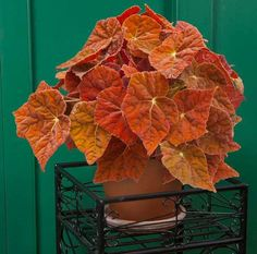 Begonia 'Autumn Ember' p.p.a.f. (Begonia rhizomatous hybrid) one of our newest hybrids. it's brilliant juvenile orange leaves emerge with a blast of color and maintain that way with good light exposure as it matures.