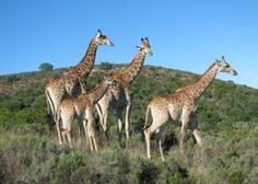 Giraffes spotted on a game drive at Botlierskop Private Game Reserve! Private Games, Game Reserve, Giraffes, Impala, Flora, Wildlife, Elephant, Gallery, Travel