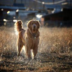 backlit Golden Retriever by theilr, via Flickr