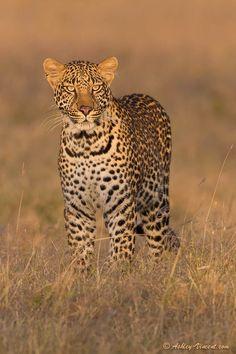 "Leopard by Ashley Vincent. Taken in Kenya. ""Magical Mara Moment"""