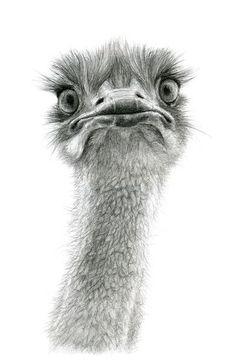 Cute Ostrich SK053 Art Print // via society6