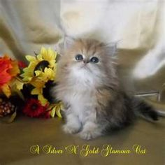 Persian Kittens Teacup Cats are so adorable Teacup Persian Kittens, Teacup Kitten, Persian Cats, Baby Kittens, Cute Cats And Kittens, Kittens Cutest, Fluffy Animals, Cute Baby Animals, Himalayan Kitten