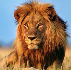 Lion. Cecil