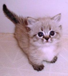 Half persian half ragdoll cat