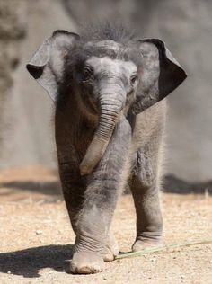 """Priya"" the baby Asian elephant - phto by Ray Meibaum, via Zooborns; at the Saint Louis Zoo Asian Elephant, Elephant Love, Elephant Gifts, Elephant Images, Mundo Animal, My Animal, Cute Baby Animals, Animals And Pets, Elephas Maximus"